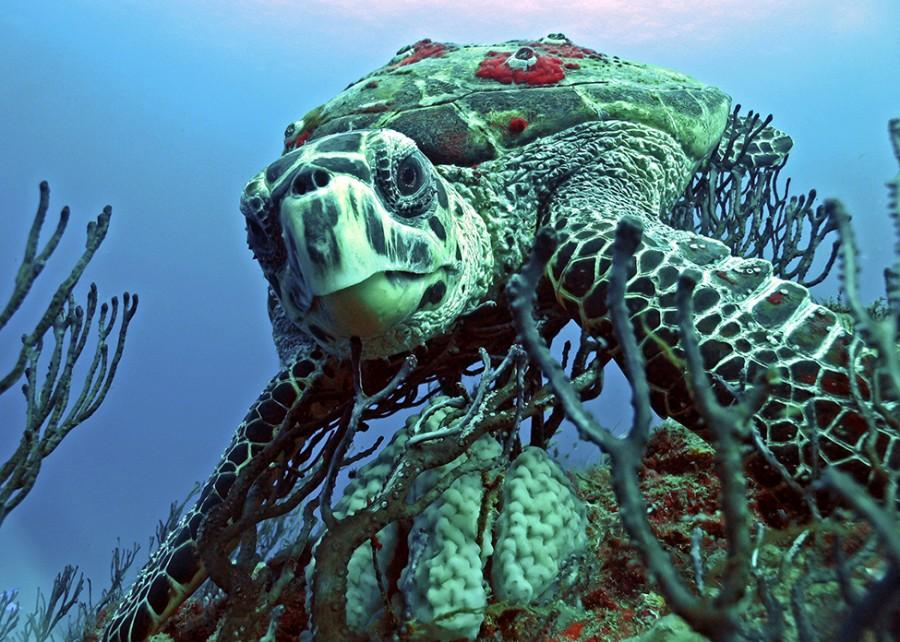 Hawksbill sea turtle munching away on a sponge in Kapaa, Hawaii.
