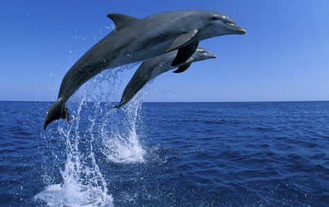 Two dolphins have a jumping contest in the Bahamas.